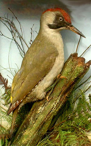 Green Woodpecker (Army _ Navy)[2].jpg